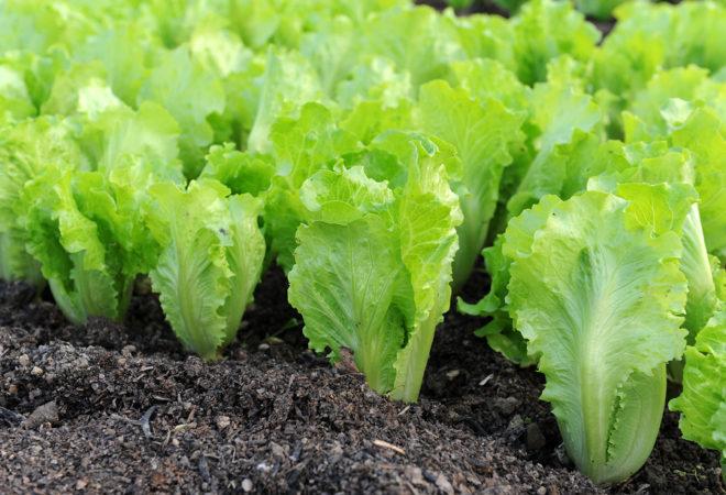 Как вырастить салат латук у себя в огороде